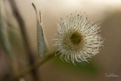 Eucalyptus Wattle