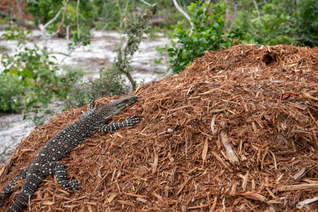 Reptiles found at Whitehaven Beach
